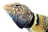 Portrait of Desert Collared Lizard on white background