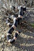 Long-nosed snake - Panamint mountains California
