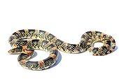 Long-nosed snake on white background