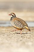 Red-Legged Partridge marchant sur la berge - Spain