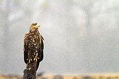 White-tailed Eagle on a pole - Poland