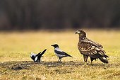 White-tailed Eagle and Hooded Crows - Poland