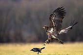 White-tailed Eagle hunting a Hooded Crow - Poland