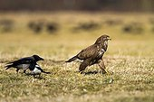 Common Buzzard Hooded Crow and Magpie on ground - Poland