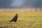 Common Buzzard in rain - Poland