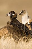 Cinereous Vulture and Griffon Vultures - Alcudia Valley