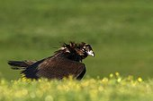 Cinereous Vulture on ground - Alcudia Valley Spain