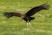 Cinereous Vulture in flight - Alcudia Valley Spain