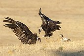 Cinereous Vultures fighting - Alcudia Valley Spain