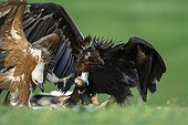 Griffon Vulture and Cinereous Vultures fighting - Spain