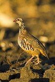 Red-legged partridge in a divot - Spain