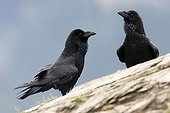 Common Ravens on rock - Ordessa NP Spain