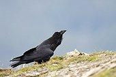 Common Raven on ground - Ordessa NP Spain