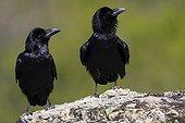 Common Ravens on rock - Spain