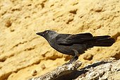 Eurasian Jackdaw on rock - Spain