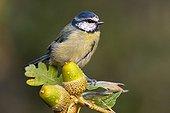Blue tit on an oak branch - Spain