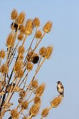 Goldfinch on Teasel - Spain
