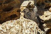 Eurasian Jackdaws on rock - Spain