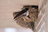 Common house martin at nest - Spain