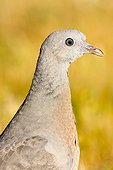 Portrait of young Wood Pigeon - Spain