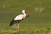 White Stork gathering nesting material - Spain