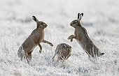 Brown Hares boxing in a frozen meadow at spring - GB