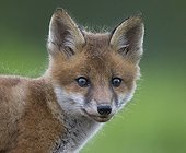 Cub Red Fox walking in a meadow at spring  - GB