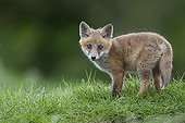 Cub Red Fox standing in a meadow at spring - GB