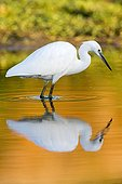 Little Egret in water and reflection - Tietar river Spain