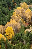 Forest of birch trees and pines in autumn - Guadalajara Spain