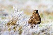 Common Buzzard on ground in winter - Alcudia Valley Spain