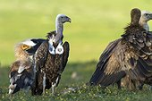 Rüppell's Vultures on ground - Valley of Alcudia Spain