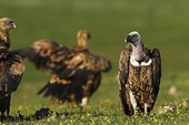 Rüppell's Vulture on ground - Valley of Alcudia Spain