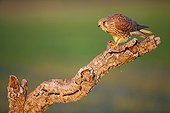 Common Kestrel female and prey on a branche - Spain
