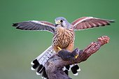 Common Kestrel male and prey on a branche - Spain