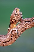 Common Kestrel female on a branche - Spain