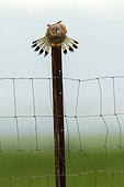Common Kestrel male on a pole - Spain