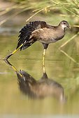 Common Moorhen walking in water - Spain