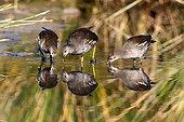 Common Moorhens feeding in water - Spain