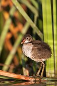 Young Common Moorhen - Brazo del Este del Guadalquivir