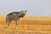 Striped Hyena in the savannah - Blackbuck NP India