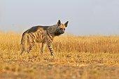 Striped Hyena walking in the savannah - Blackbuck NP India