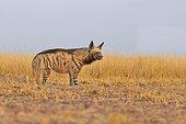 Striped Hyena in the savannah - Blackbuck NP India