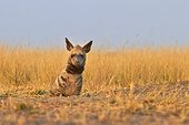Striped Hyena lying in the savannah - Blackbuck NP India