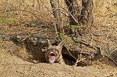 Striped hyena in his den - PN Velavadar India