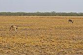 Striped hyena and Blackbuck - PN Velavadar India