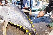 Testing the quality of a Tuna - Larantuka Flores Indonesia