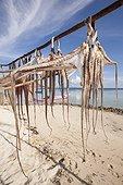 Octopus drying - Grogos Island Maluku Indonesia ; Koon Marine reserve WWF-Indonesia projectTerritorial User Rights for Fishing (TURF)