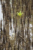 Young mangrove tree - Seram Island Maluku Indonesia ; WWF-Indonesia