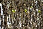 Young mangrove trees - Seram Island Maluku Indonesia ; WWF-Indonesia